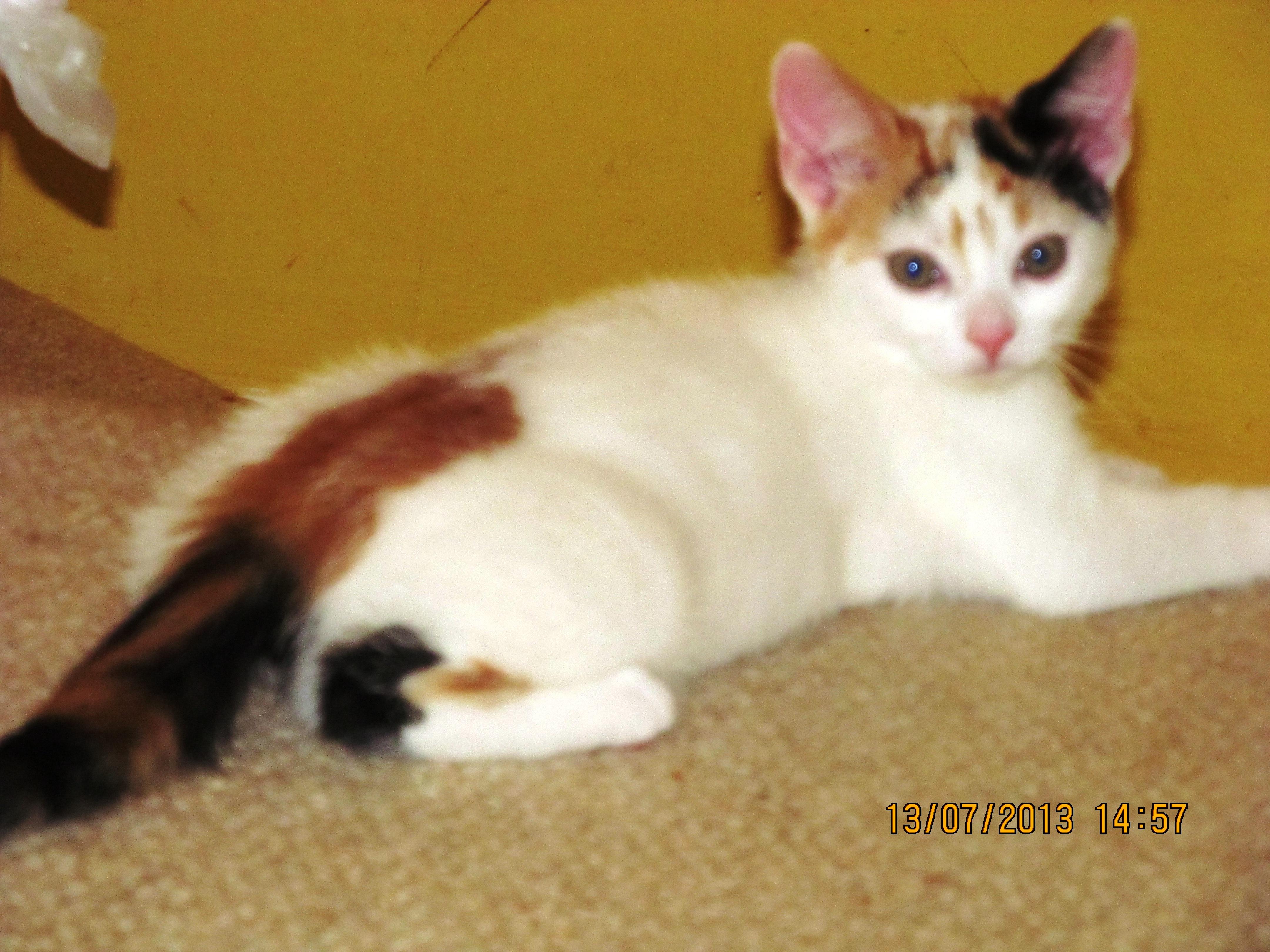 Rescue Cat Sheffield
