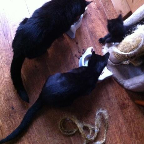 3 black cats2