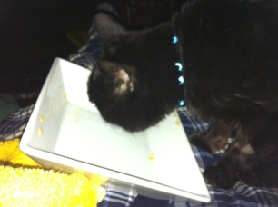 sooty finiishing my supper