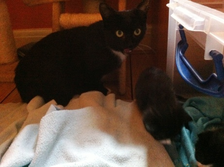 tab and mowse kittens interested in life outside the cot14
