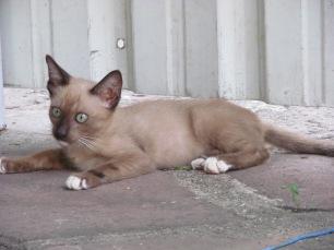 more bangkok cats1