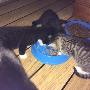 jette kitten table manners (2)